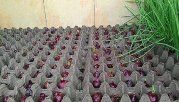 Оригінальний метод вирощування цибулі. А ви знали про такий?