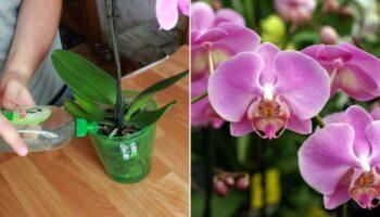 Добриво для орхідей, три рецепти