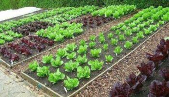 Харчова сода, як правильно використовувати на городі