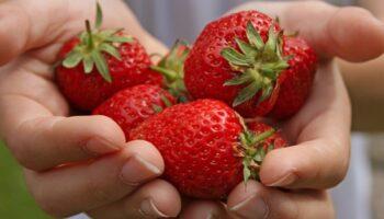 Багатий врожай полуниці - рецепт домашнього підживлення