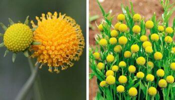 Геленіум - все що потрібно знати про рослину