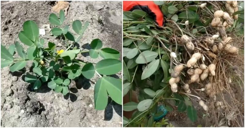 Земляний арахіс - як виростити арахіс на дачі