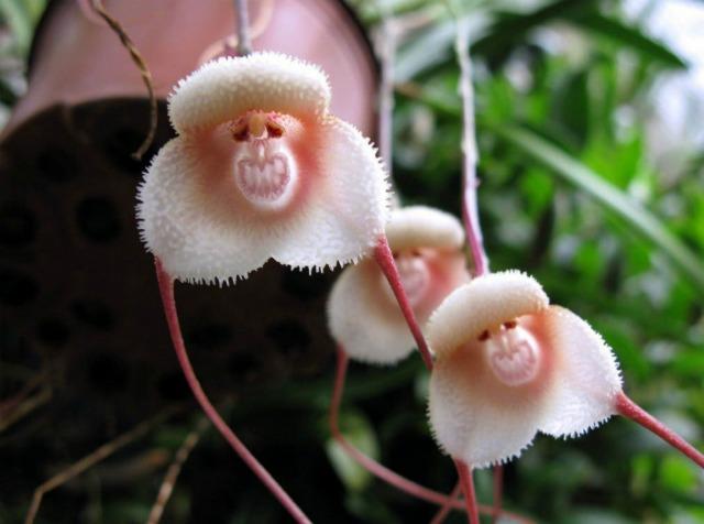 Ці рідкісні орхідеї схожі на крихітних мавпочок