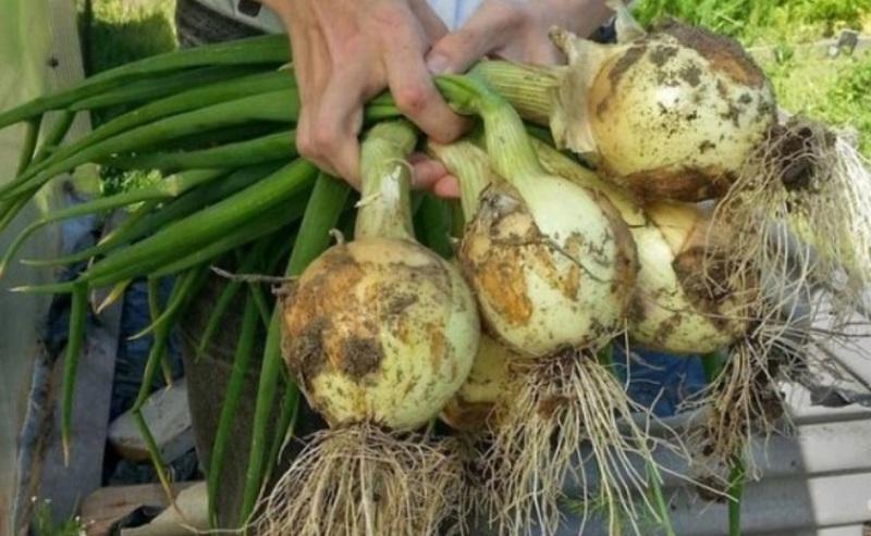 Вирощення цибулі - 4 поради для гарного врожаю