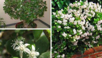 Грошове дерево - догляд за рослиною