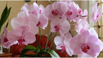 Орхідея - що робити що рослина цвіла круглий рік