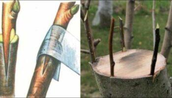 Прищеплення дерева - правильний метод