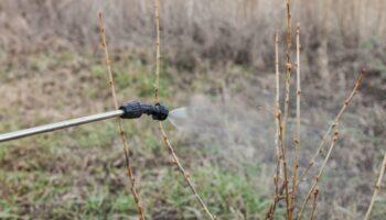 Смородина - догляд за рослиною