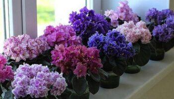Фіалки - 5 секретів пишного цвітіння