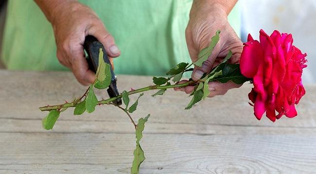 Як вкоренити троянду з букета: 3 дуже простих методи