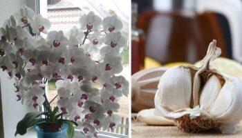 Засіб для підживлення орхідеї за допомогою часнику