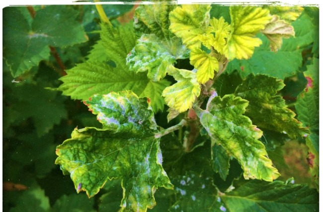 Як я за допомогою соди збільшити урожай смородини в 1.5 рази - і позбутися шкідників