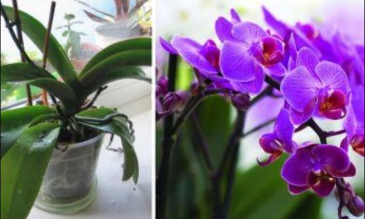 Орхідея - догляд за рослиною