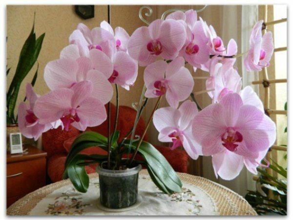 Що робити, якщо не цвіте орхідея: поради квіткарів