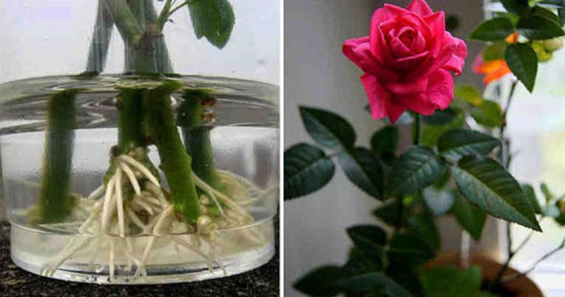 Як вкоренити троянду - три корисних методи