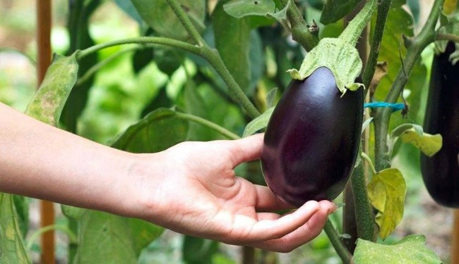 Попіл для картоплі. Підживлення овочів в червні в період цвітіння