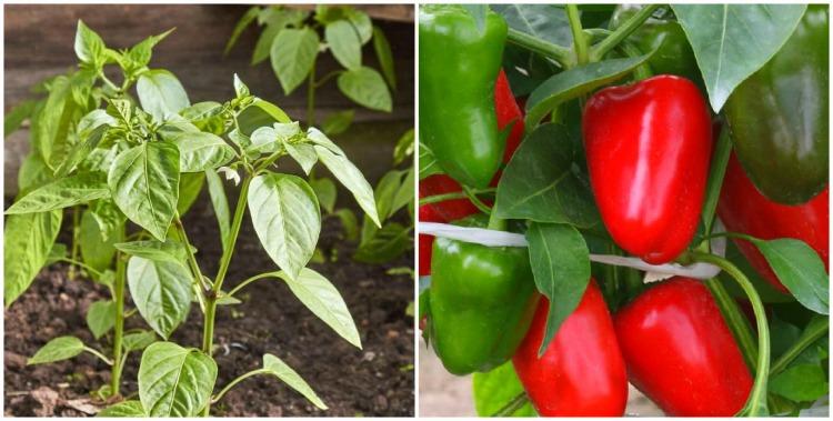 Гарний врожай перцю - рецепт розчину