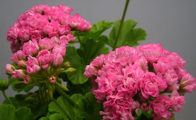 5 кращих підживлень для Герані. Допоможуть пишно і яскраво цвісти!