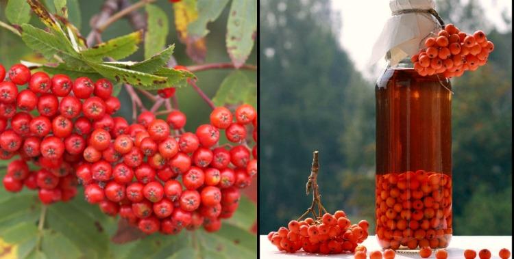 Горобина - корисні властивості рослини