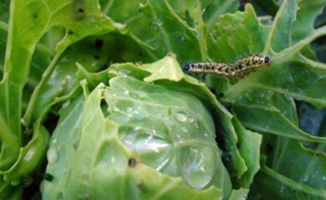 Гусениця не чіпає мою капусту на городі. Виручає мене вже який рік господарське мило