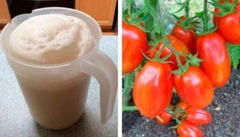 Дріжджове підживлення врятує ваші помідори та огірки від хвороб