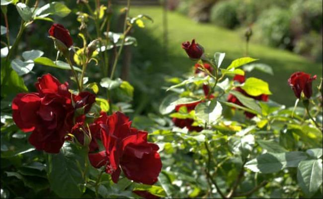 Щоб троянди цвіли все літо: кілька хитрощів по догляду для садівників