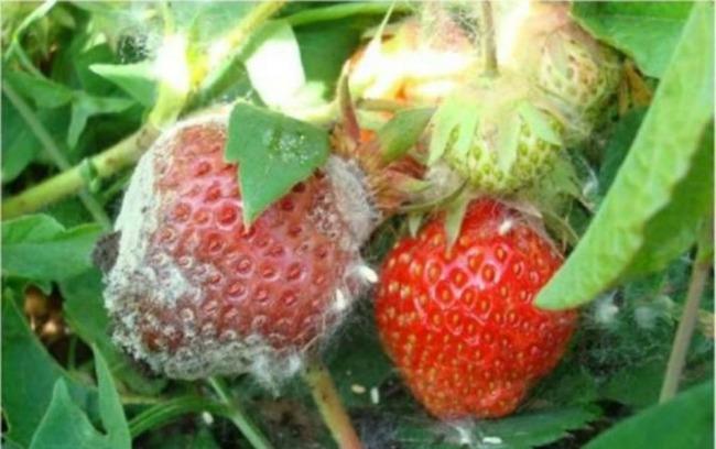 Сусідка розповіла, як врятувати урожай полуниці від гнилі в дощовий сезон