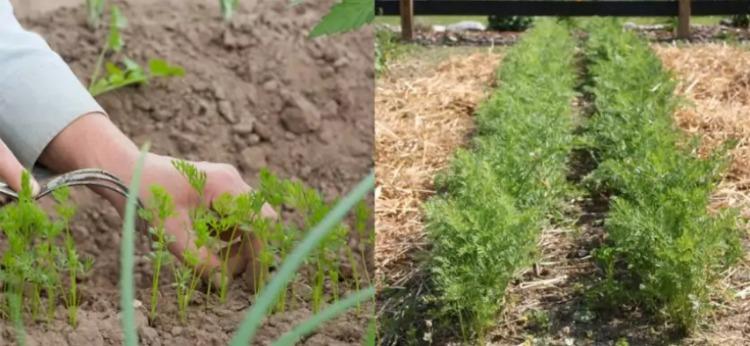 Морквяна поляна: як зробити урожай моркви солодким і міцним за допомогою додавання на грядки одного інгредієнта