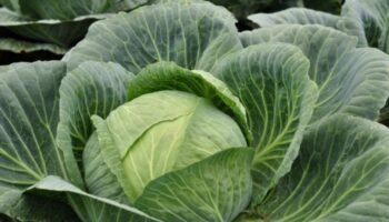 Вирощую величезну і здорову капусту без краплі хімії: обробляю її валеріаною