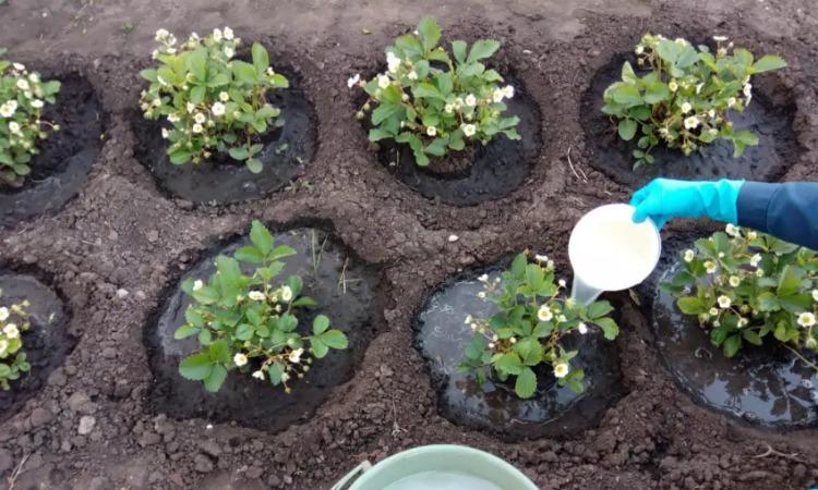 Підживлення полуниці під час цвітіння для отримання багатого врожаю - кілька маловідомих хитрощів