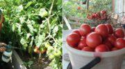 Чим обприскувати помідори в червні і липні, щоб радуватися урожаю
