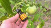 «Помідори вже зацвіли»: додаємо підживлення, щоб помідори стали великими, солодкими і соковитими