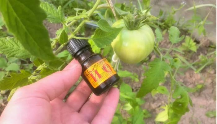Чим обприскувати помідори - корисні рецепти