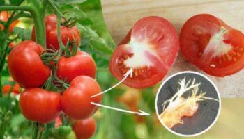 Бабуся розповіла, що білі прожилки на помідорах виникають з трьох причин
