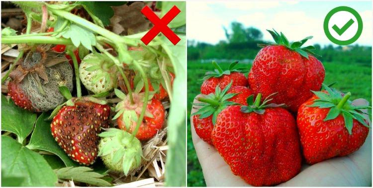 Як врятувати урожай полуниці - корисні поради