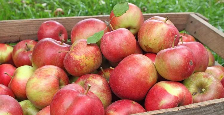 Як зберігати яблука - корисні поради