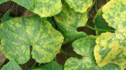 Ніякі хвороби моїм огіркам не страшні: обприскую їх дешевим розчином