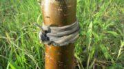 Як перемогти мурах в саду і приборкати тлю