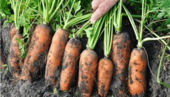 Шкодую, що раніше не знала, як підживити моркву, щоб виросла великою, соковитою і солодкою