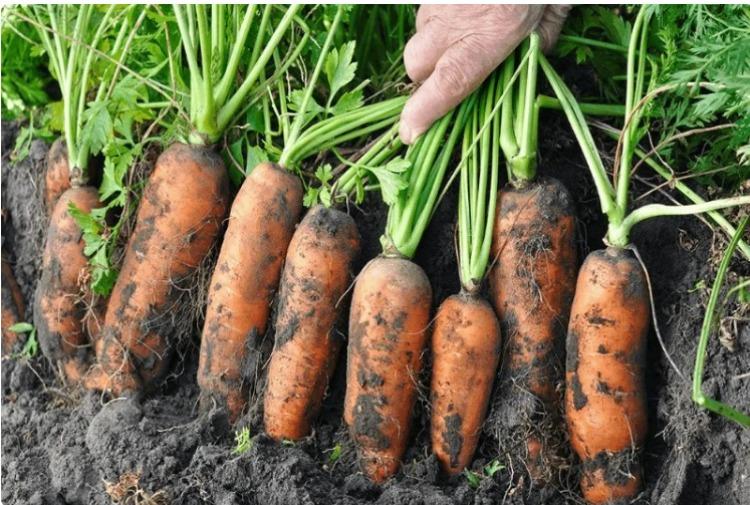 Як підживити моркву - корисні поради