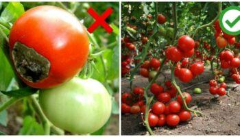 Час вносити кальцій: як уникнути гниття великих сортів помідорів