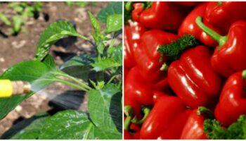 2 кращих добрива для перцю. Забезпечать урожай і захистять від хвороб
