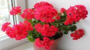 Заходи, після яких герань буде вас радувати рясним цвітінням