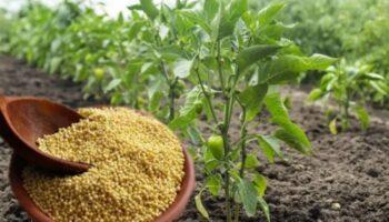 Як мені пшоно допомагає щороку вирощувати багатий урожай перцю: мій перевірений рецепт