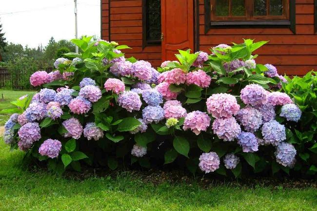 Досвідчений квітникар розповів, як пофарбувати гортензію: з рожевого в насичено-синій і навпаки!