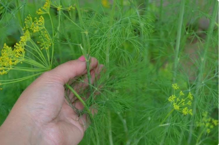 Як посіяти кріп в липні, щоб пишна зелень швидко виросла