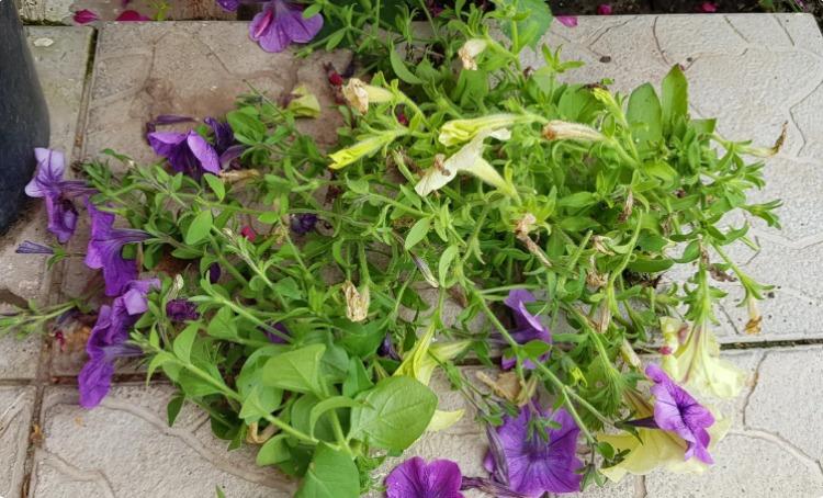 В середині літа омолоджую петунію, щоб вона цвіла пишним кулькою до самих заморозків