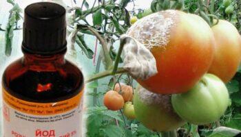 Як обробити помідори йодом від фітофтори