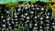 Як я обрізаю кущі чорної смородини і збираю в наступному сезоні рясний урожай ягід