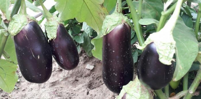 Сусід поділився хитрими порадами, чим і як він підживлює баклажани в серпні, щоб отримати ще більший урожай